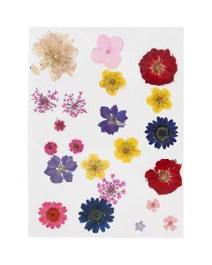 Fleurs pressées, couleurs assorties, 1 Pq.